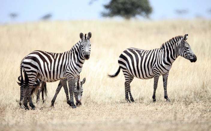 Masai_Mara_National_Reserve_065